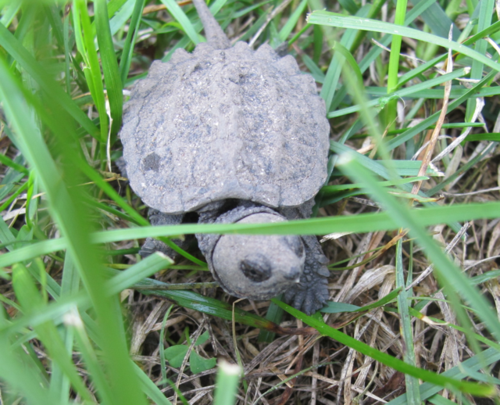 Baby_snapping_turtle