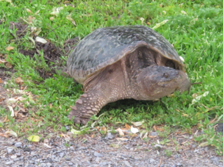 Mother_turtle_2