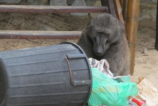 Baboon in garbage